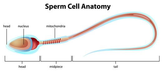 Sperm Cell Anatomy Pittsburgh Cryo Bank
